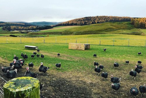 Ledmacoy Turkeys Strathdon