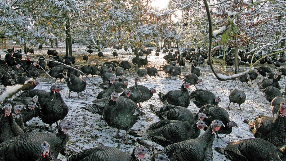 Great Grove Woodland Bronze Turkeys
